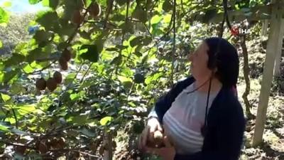 Türkiye'nin en fazla kivi üretilen 2. ilinde hasat zamanı