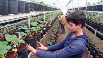 'Kış çileği' üreticileri hasat için gün sayıyor - BURSA