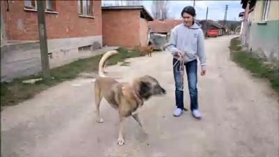'Kaplan' isimli köpeğe kemik tümörü ameliyatı - BİLECİK