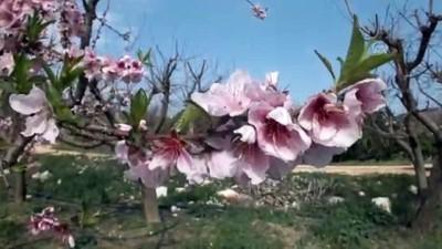 ali il - Meyve ağaçlarında renk cümbüşü - MERSİN