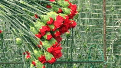 Kesme çiçek ihracatında '14 Şubat' etkisi - ANTALYA