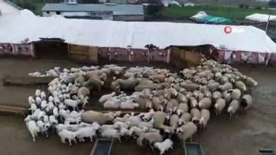 Koyun ve kuzuların buluşması renkli görüntülere sahne oldu. O anlar havadan görüntülendi