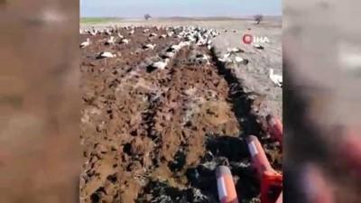 Binlerce leylek çiftçiye eşlik etti