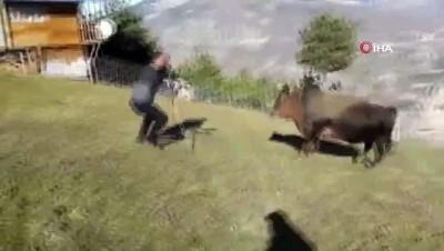 Boğalarla dans ediyor, oynuyor...Onları güreşlere böyle hazırlıyor