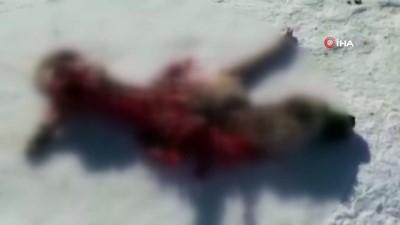 Kurtlar aynı mezraya ikinci kez saldırdı, yine bir köpek telef oldu