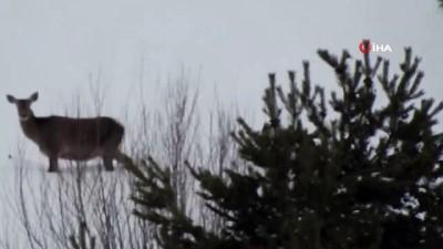 Kızıl geyikler Giresun dağlarında görüntülendi
