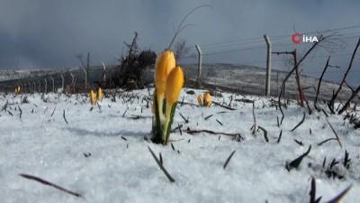 Baharın müjdecisi çiğdem çiçekleri Mart karı altında kaldı
