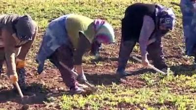 Vali Kocabıyık 8 Mart'ı tarlada çalışan kadın işçilerle kutladı - UŞAK