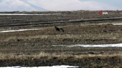 Kars'ın Mezra köyünde çok sayıda akbaba görüntülendi