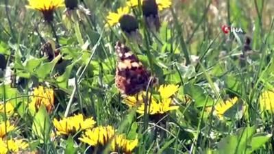 katar -  Konya'da 'Diken Kelebekleri' renkli görüntüler oluşturdu