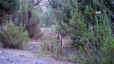 kinali -  Ayı, tilki, kurt, yaban domuzu, dağ keçisi...Erzincan'da yaban hayatı fotokapanlarla görüntülendi