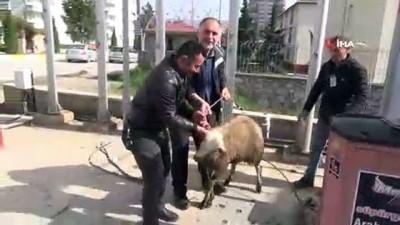 Kaçak koyun ortalığı birbirine kattı