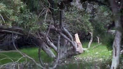 katliam - Akbük Koyu'nda ağaçların kesilmesi - MUĞLA
