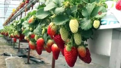 - Sinop'ta topraksız çilek üretimi başladı