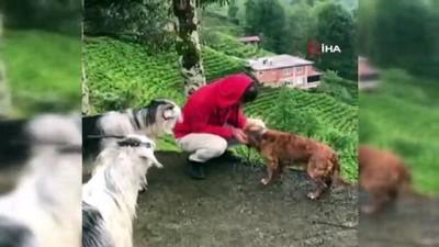 Ekmeğini paylaşmıştı, bu kez keçinin azizliğine uğradı...Kıskanç keçi sahibini yamaçtan aşağıya böyle düşürdü