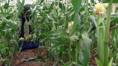 ekince -  Antalyalı çiftçi serasında ezber bozdu