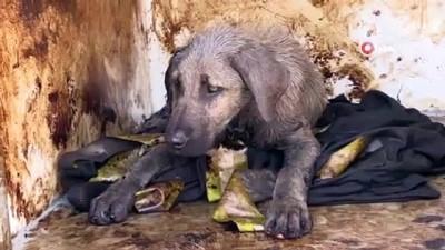 Kocaeli'de zifte yapışan köpek, bakım evinde özenle temizlendi