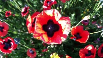 Gelincik çiçeklerinden görsel şölen - IĞDIR