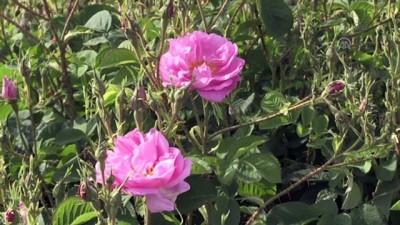 sosyal medya - 'Güller diyarı'nda hasat zamanı - ISPARTA