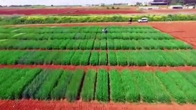 hastalik - Tescilli yerli buğday çeşitleri verimi artıracak - ŞANLIURFA