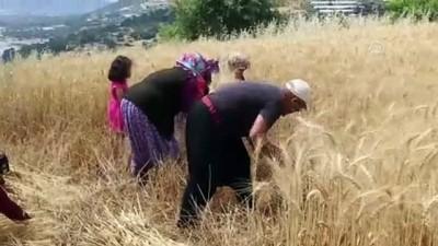 Yılın ilk buğday hasadı başladı - ANTALYA