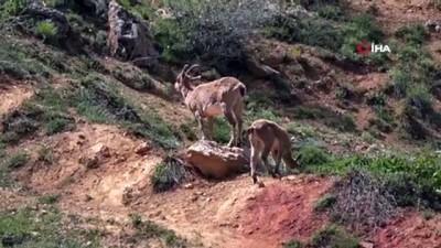 sahit -  Dağ keçileri yola indi, onları görenler cep telefonuna sarıldı