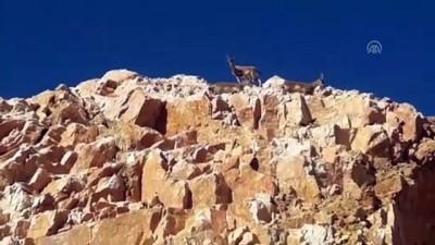 Elazığ'da dağ keçileri kara yoluna indi - ELAZIĞ