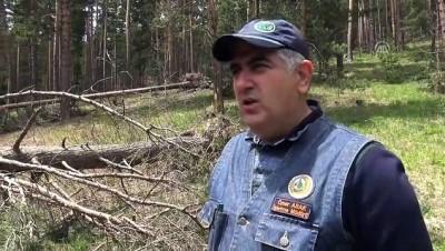 kar yagisi - Sert geçen kışta zarar gören ağaçlar ekonomiye kazandırılıyor - KARS