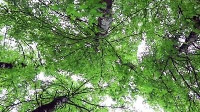Sığla ormanları bilim insanlarını bekliyor - BURDUR