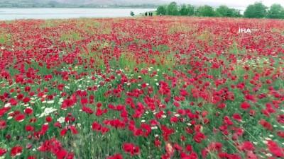 sahit -  Göldeki ada kırmızıya büründü... Gelincik çiçekleri havadan görüntülendi