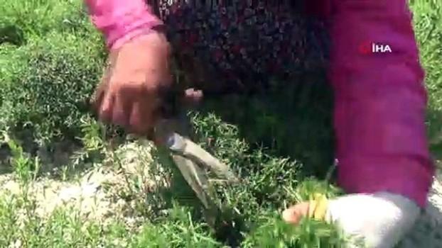 tarim -  Zahter diyarında hasat mesaisi