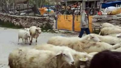 Çobanların kurtlarla mücadelesi: Yaşanan son olayda 8 koyun telef oldu