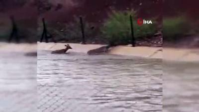 HES kanalına düşen karacaları boğulmaktan vatandaşlar kurtardı