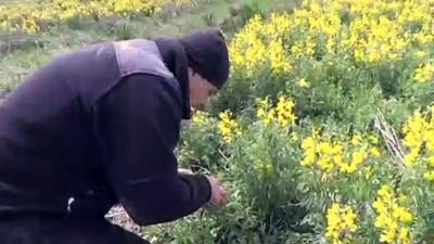 'Eber sarısı'nı koparmanın cezası 60 bin lira - AFYONKARAHİSAR