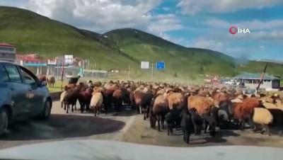Koyun sürüsü yola indi, sürücüler beklemek zorunda kaldı