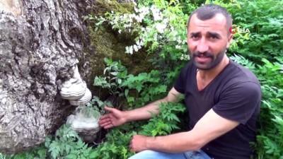 katar -  Dağ mantarının kilosu eti geçti, köylülerin geçim kaynağı oldu