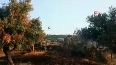 ormanli -  İzmir'de orman yangınında zeytin ağaçları kül oldu