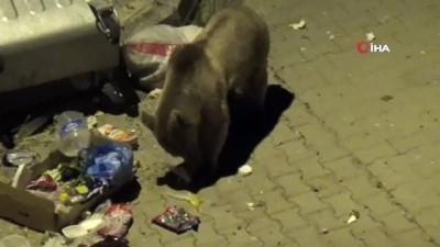 ormanli -  Sarıkamış'ta aç kalan yavru boz ayı çöpte yiyecek aradı