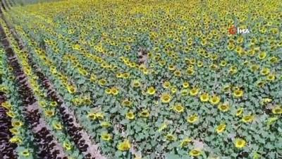 gubre -  Buğday yerini 'sarı altın'a bırakıyor...Görsel şölen sunan ayçiçek tarlaları havadan görüntülendi