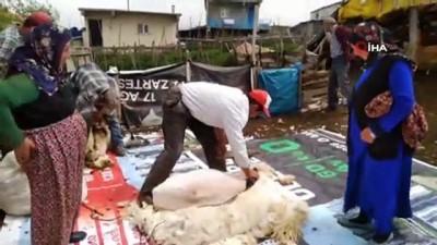 hayvancilik -  Koyun kırkmada teknoloji tercih ediliyor