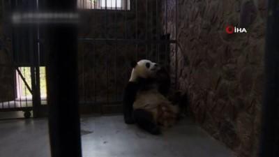 panda -  - Dünyanın En Küçük Pandası Dünyaya Geldi