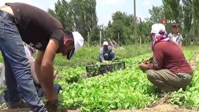 Muş'ta tütün ekimi başladı
