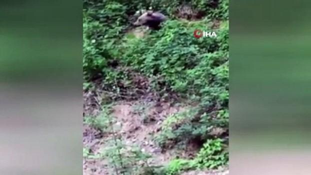 ormanli -  Ormanda yiyecek arayan ayı böyle görüntülendi