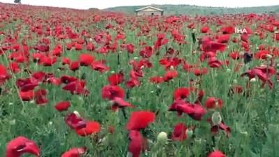 Yozgat'ta kırmızı görüntüsü ile gelinciklerin görsel şöleni