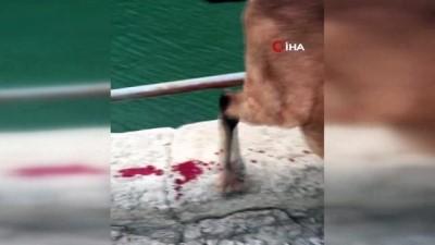 Artvin'de köpeklerin saldırdığı yaban keçisini personel kurtardı