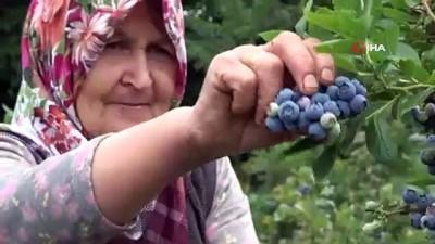 mersin -  Dönümden 80 bin lira kazanıyor...Binbir derde deva yaban mersininin hasadı başladı