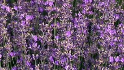'Kıraç arazilere buğday yerine lavanta ekin' önerisi - EDİRNE