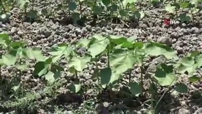 tarim iscisi -  Aylarca sular altında kalan Amik Ovası'nda pamuk tohumları filizlendi
