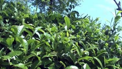 ÇAYKUR'un birinci sürgün yaş çay alımı rekorla tamamlandı - RİZE