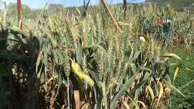 Küresel ısınma buğdayı vurdu, Türk bilim adamları da çaresini buldu
